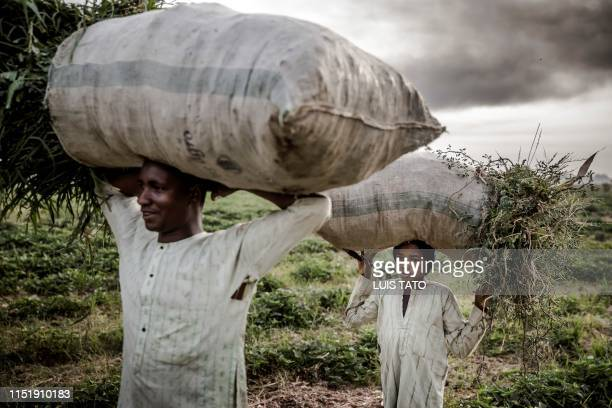 A Hausa Fulani farmer and his son work at a farm in the outskirts of Sokoto Sokoto State Nigeria on April 22 2019 Massive expansion of farming in...