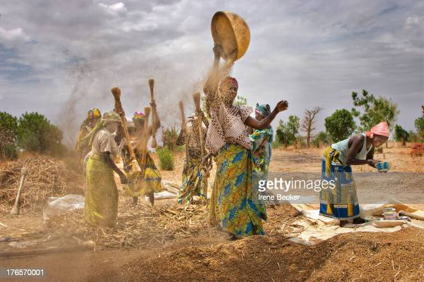 Hausa women working in the fields during millet harvest. To separate the millet grains from the husks, the millet is winnowed . The heavy grains fall...
