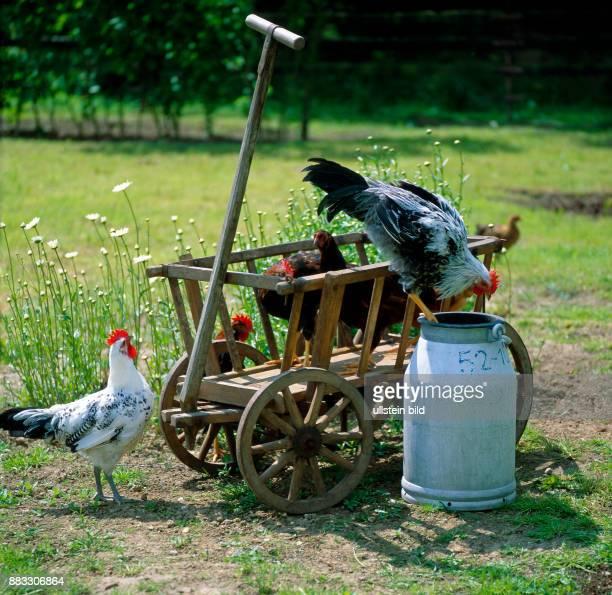 Haushahn der Rasse Italiener silberfarbig mit Huehnern verschiedener Rassen Ostfriesische Moewen Welsumer und Rhodelaender auf einem Leiterwagen mit...
