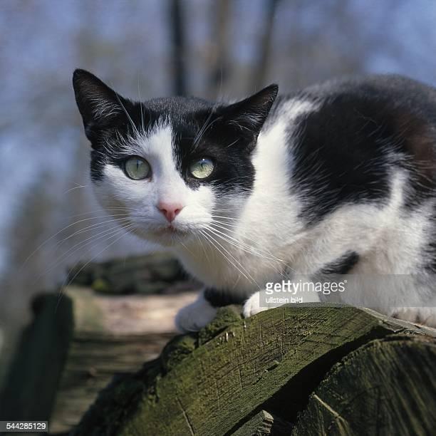 Hauskatze schwarzweiß sitzt auf einem Holzstapel