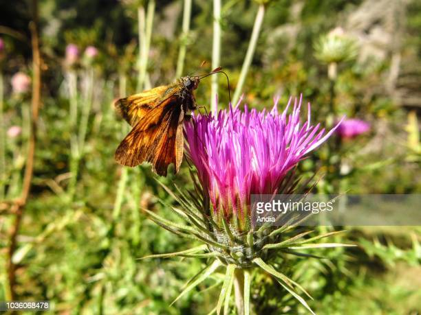 Hautes-Pyrenees department : Butterfly gathering pollen from a thistle flower with its trunk.