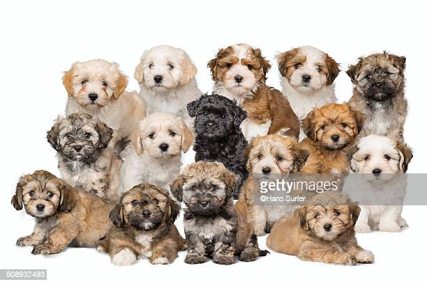 15 havanerse puppys - large group of animals stock pictures, royalty-free photos & images