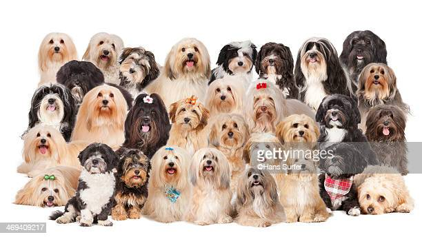 havanese dogs in one picture - large group of animals stock pictures, royalty-free photos & images