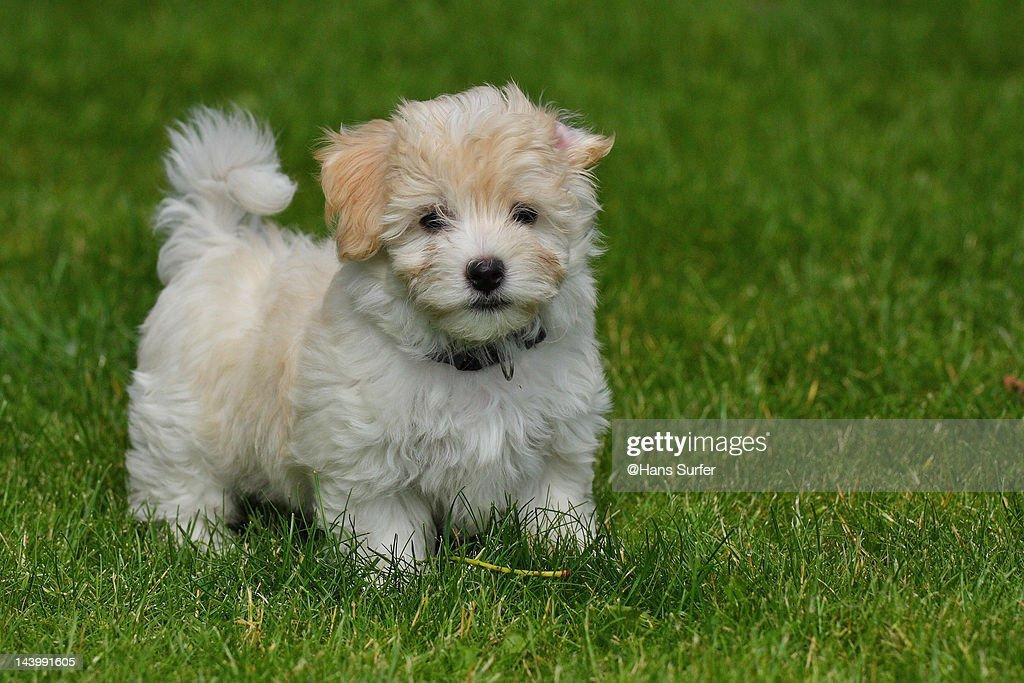 Havanese puppy : Stock Photo