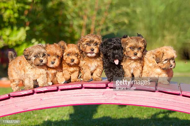 7 Havanese puppys of 7 weeks in a row on a bridge!