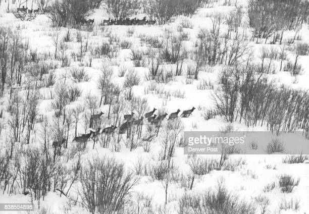 Have Fine Winter Near Steamboat Spring Elk are wintering south of Steamboat Springs Color on the Rocky Mountains' Western Slope among lower...