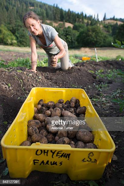 Havesting organic potatos.