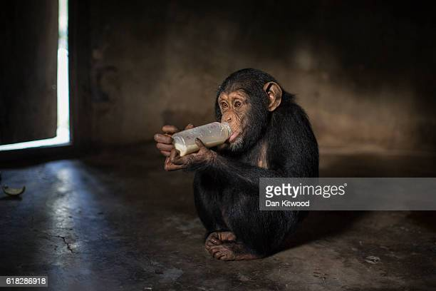 Hawa drinks a bottle of milk substitute in her enclosure after a morning bushwalk at the Chimpanzee Conservation Centre on November 27 2015 in...