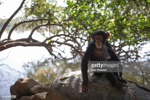 Hawa sits on a rock next to the River Niger during a bushwalk at the Chimpanzee Conservation Centre on November 26 2015 in Somoria Guinea Hawa was...
