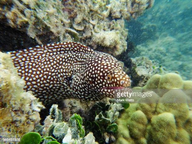 hawaian eel - hawkfish stock pictures, royalty-free photos & images