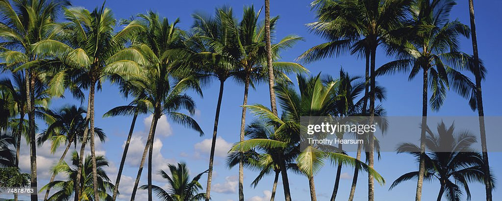 USA, Hawaii, Big Island, Hilo, palm trees : Stock Photo
