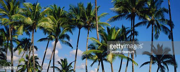 USA, Hawaii, Big Island, Hilo, palm trees