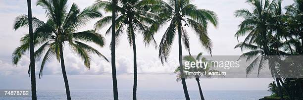 usa, hawaii, big island, near pahoa, palm trees and ocean - timothy hearsum bildbanksfoton och bilder