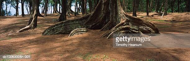 usa, hawaii, big island, puna district, mackenzie state park, sprawling trunks of ironwood - timothy hearsum imagens e fotografias de stock
