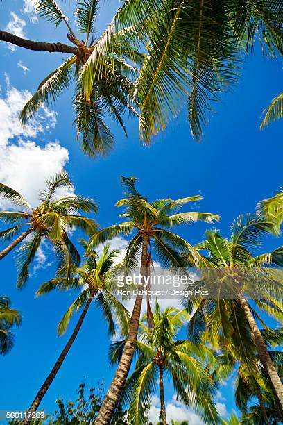 Hawaii, Lanai, Manele Bay, Tall palm trees and blue sky, View from below.