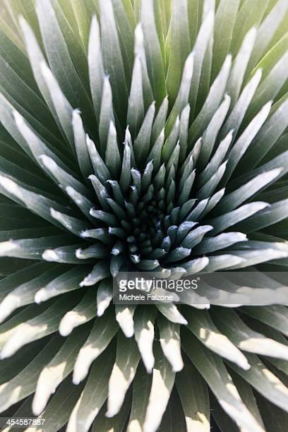 usa, hawaii, maui, haleakala national park - argyroxiphium sandwicense - fotografias e filmes do acervo