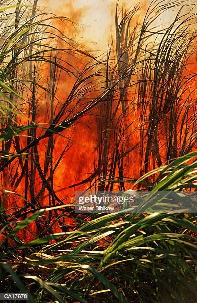 USA, Hawaii, Maui, sugar cane field burning