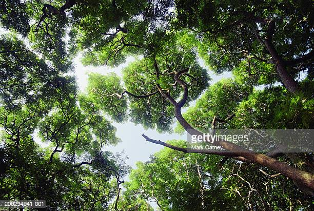 USA, Hawaii, Molokai, inner forest canopy, view from below