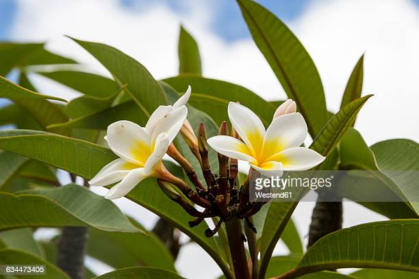 USA, Hawaii, Oahu, Plumeria flower