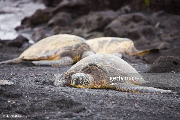 hawaii sea turtles - black sand stock pictures, royalty-free photos & images