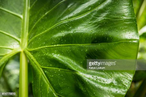 hawaii, waipio valley, taro leaf horizontal - waipio valley stockfoto's en -beelden