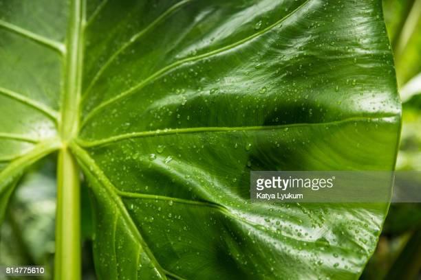 Hawaii, Waipio Valley, Taro Leaf Horizontal