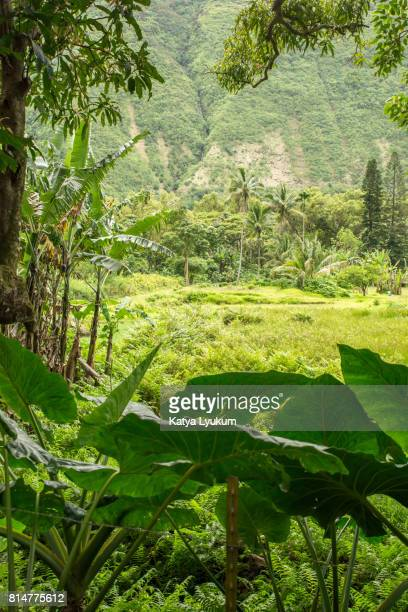 hawaii, waipio valley, taro leaves - waipio valley stockfoto's en -beelden
