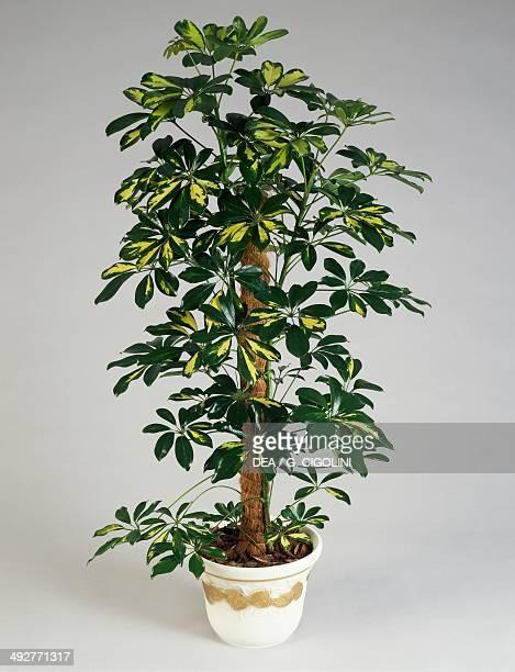 Hawaiian elf schefflera , Araliaceae.