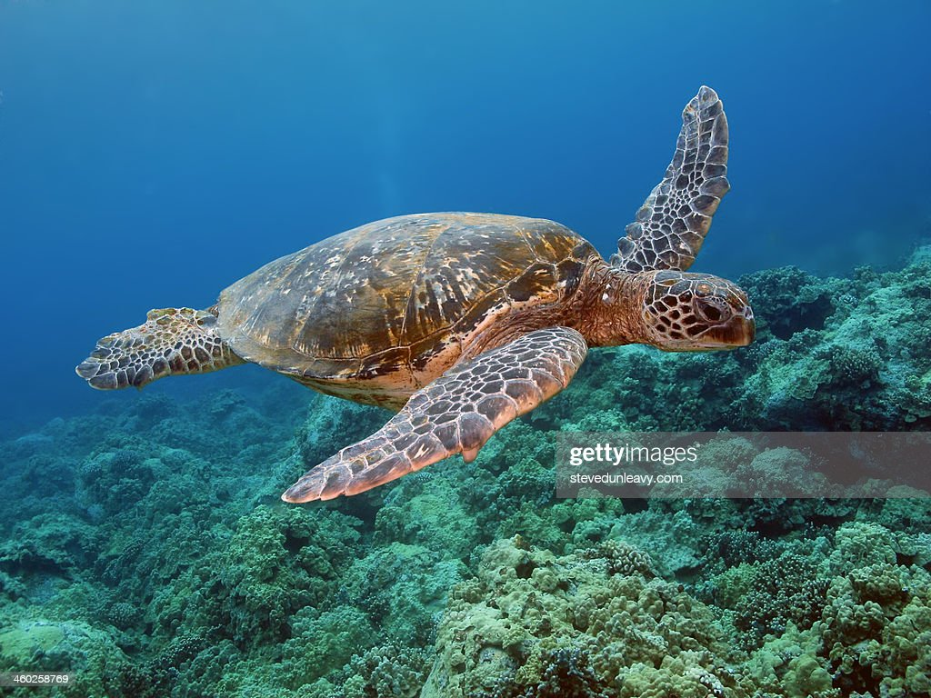 Hawaiian Green Sea Turtle, Kona, Hawaii : Stock Photo