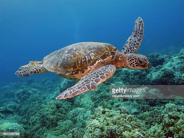 hawaiian green sea turtle, kona, hawaii - green turtle stock pictures, royalty-free photos & images