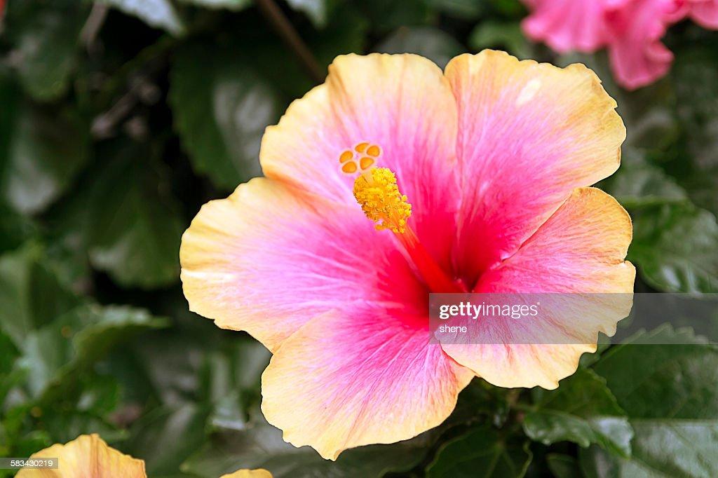 Hawaiian Hibiscus : Stock Photo