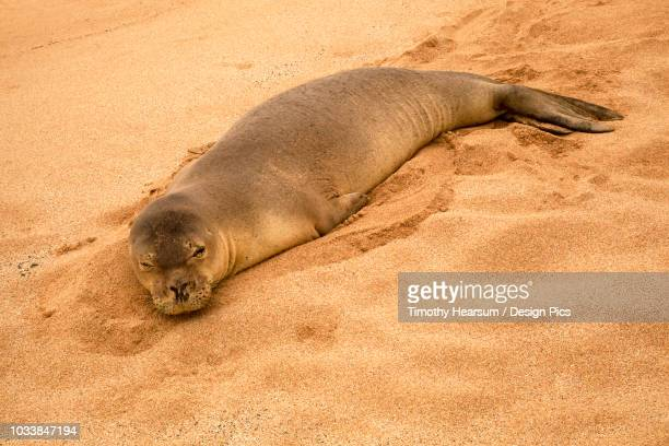 A Hawaiian Monk seal (Neomonachus schauinslandi) rests on Papohauk Beach on the island of Molokai