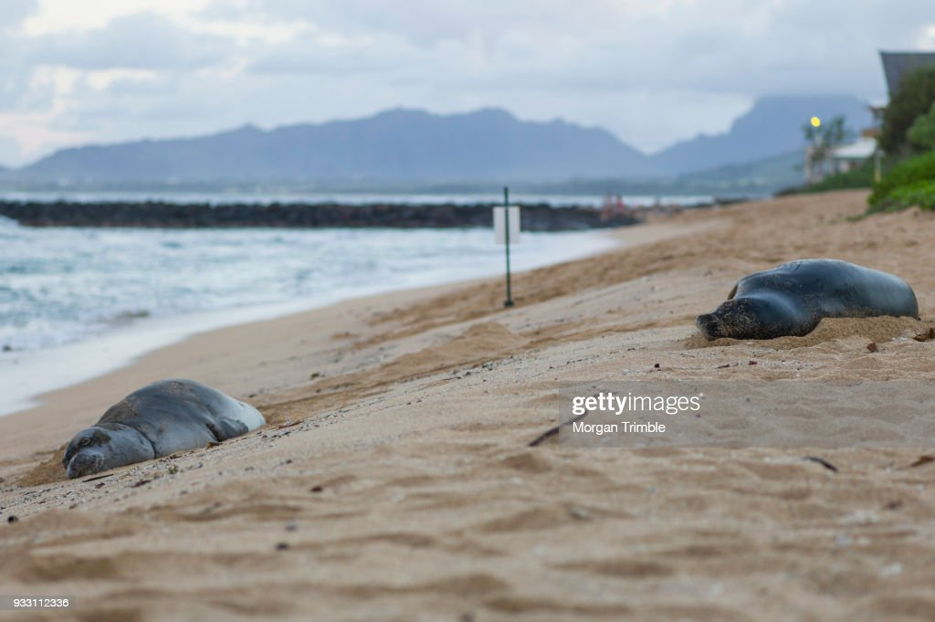 Hawaiian Monk Seals Neomonachus Schauinslandi Sleeping On Waipouli Beach Kauai Hawaii