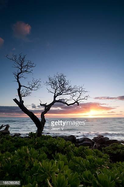 ハワイの夕日とコアツリー