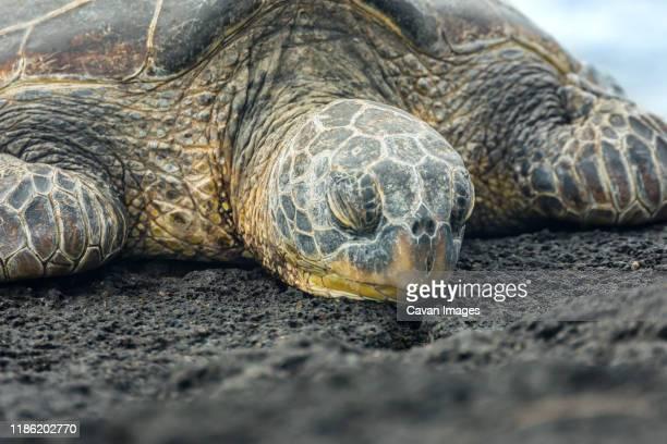 hawaiian turtle - punalu'u_beach stock pictures, royalty-free photos & images