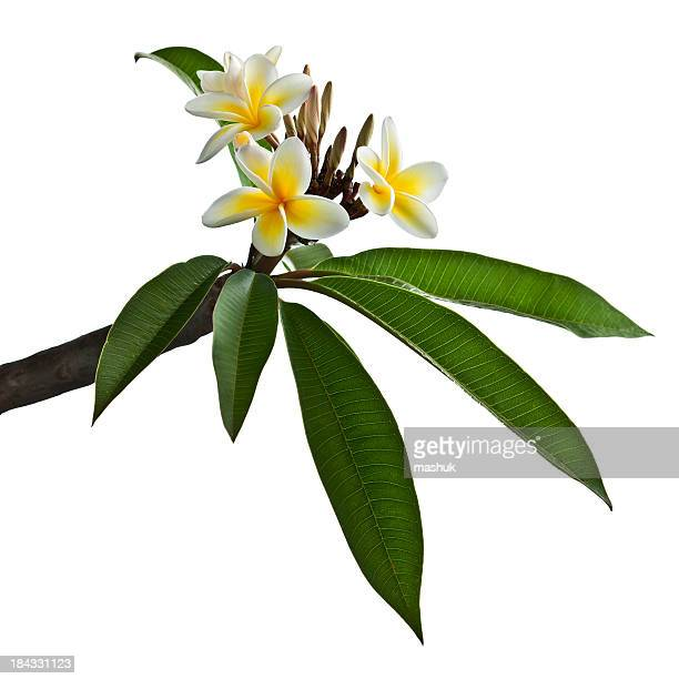 hawaiian yellow plumeria - hawaiian lei stock pictures, royalty-free photos & images