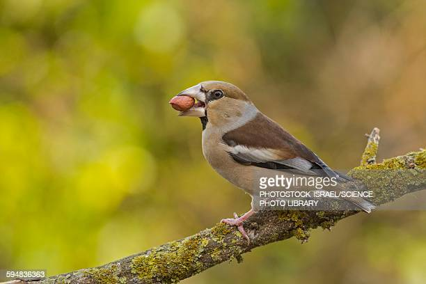 hawfinch coccothraustes coccothraustes - photostock stock photos and pictures
