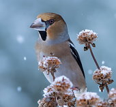 hawfinch wintereifelgermanyplease see more similar pictures