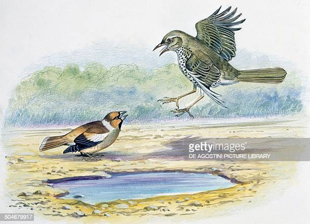 Hawfinch left and Mistle Thrush Passeriformes drawing