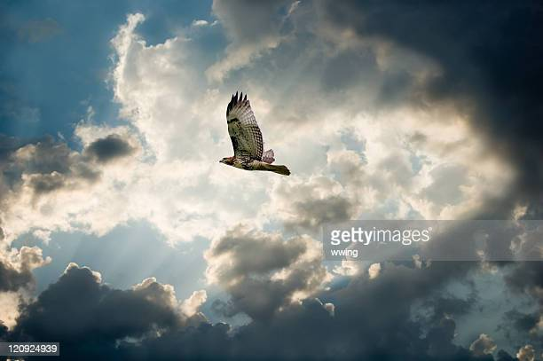 hawk and moody sky with dark clouds forming - hawk stock photos and pictures