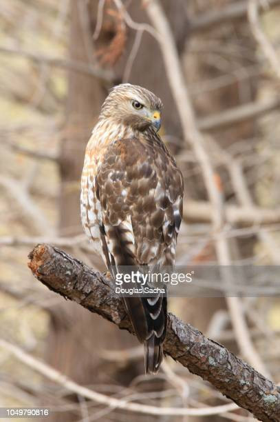 hawk bird in the wild (accipiter striatus) - hawk nest stock photos and pictures