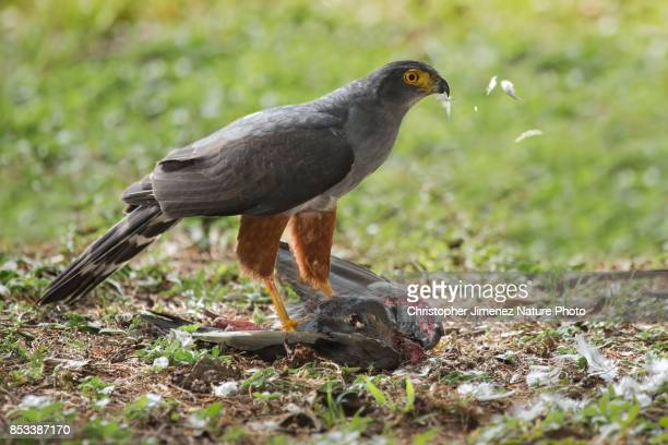 hawk eating a pigeon - christopher jimenez nature photo stock pictures, royalty-free photos & images