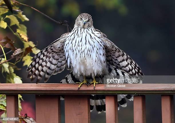 A hawk finds a perch on the railing of a deck in a Pembroke Mass backyard
