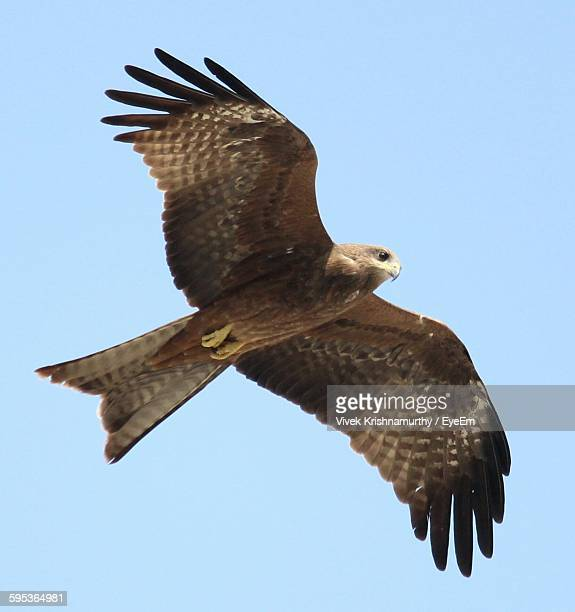 hawk flying against clear sky - hawk stock pictures, royalty-free photos & images
