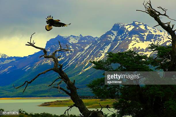 hawk flying, patagonia argentina near el calafate, perito moreno glacier - hawk bird stock photos and pictures