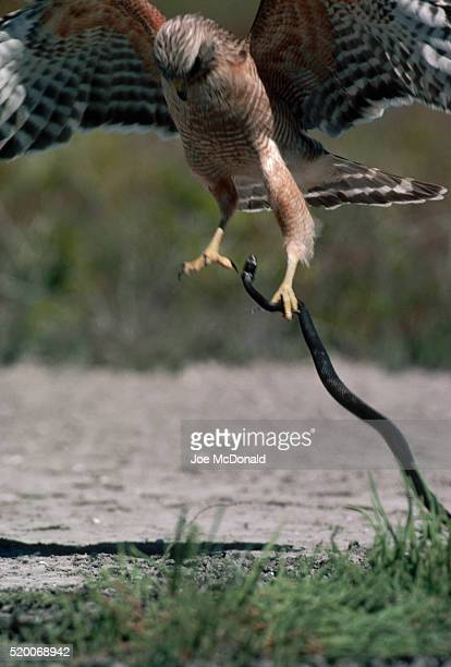 hawk grasping snake in talons - diving to the ground stock pictures, royalty-free photos & images