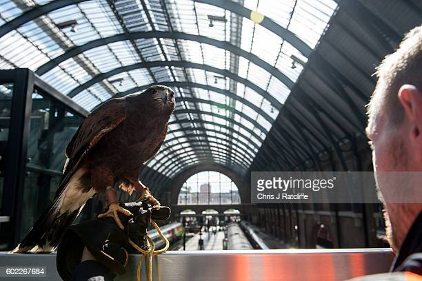 Hawk handler Max Bell stands on a footbridge with his Harris Hawk called Aria overlooking train platforms where he can not fly the birds due to...