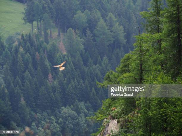 Hawk Hovering at Alpe Veglia Natural Park