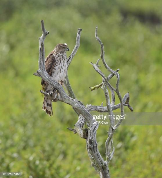 hawk hunting - south padre island stock pictures, royalty-free photos & images