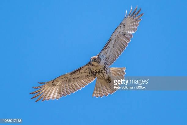 hawk in flight - hawk stock-fotos und bilder